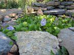 pondflower2